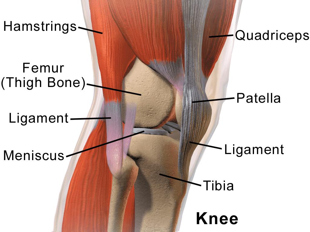 anatomia gonato